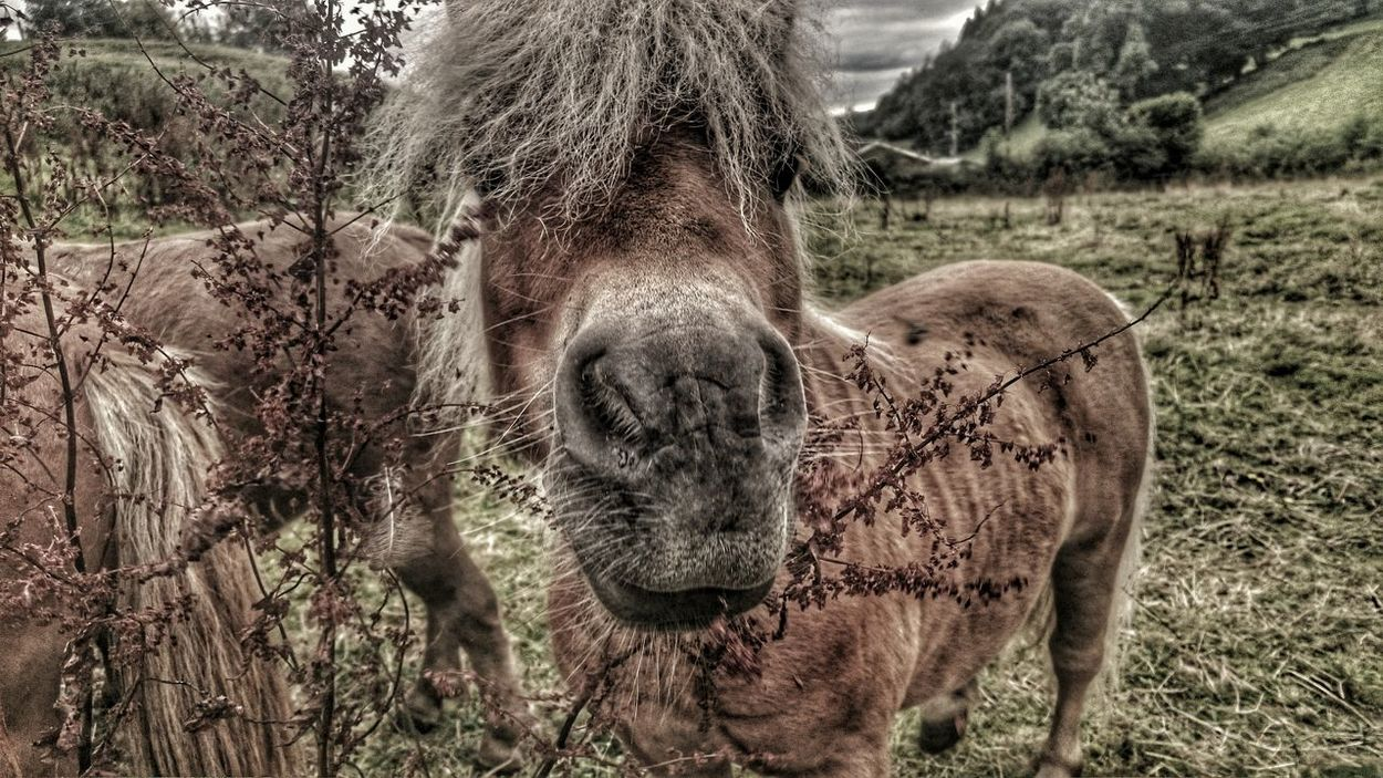 Welsh Countryside Welsh Mountain Pony Welsh Pony Pony Tiny World Countryside Looking To The Other Side Popular Animal Photography Hourse Love Horse <3Wales You Beauty Welsh Textures And Surfaces Furry Friends Hdr_Collection Minature Horses