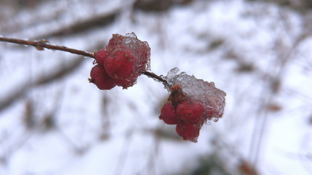 Snow Ice Macro Photography Macro Beauty Berries Nature Outdoors Winter Fwjphotos LG G4