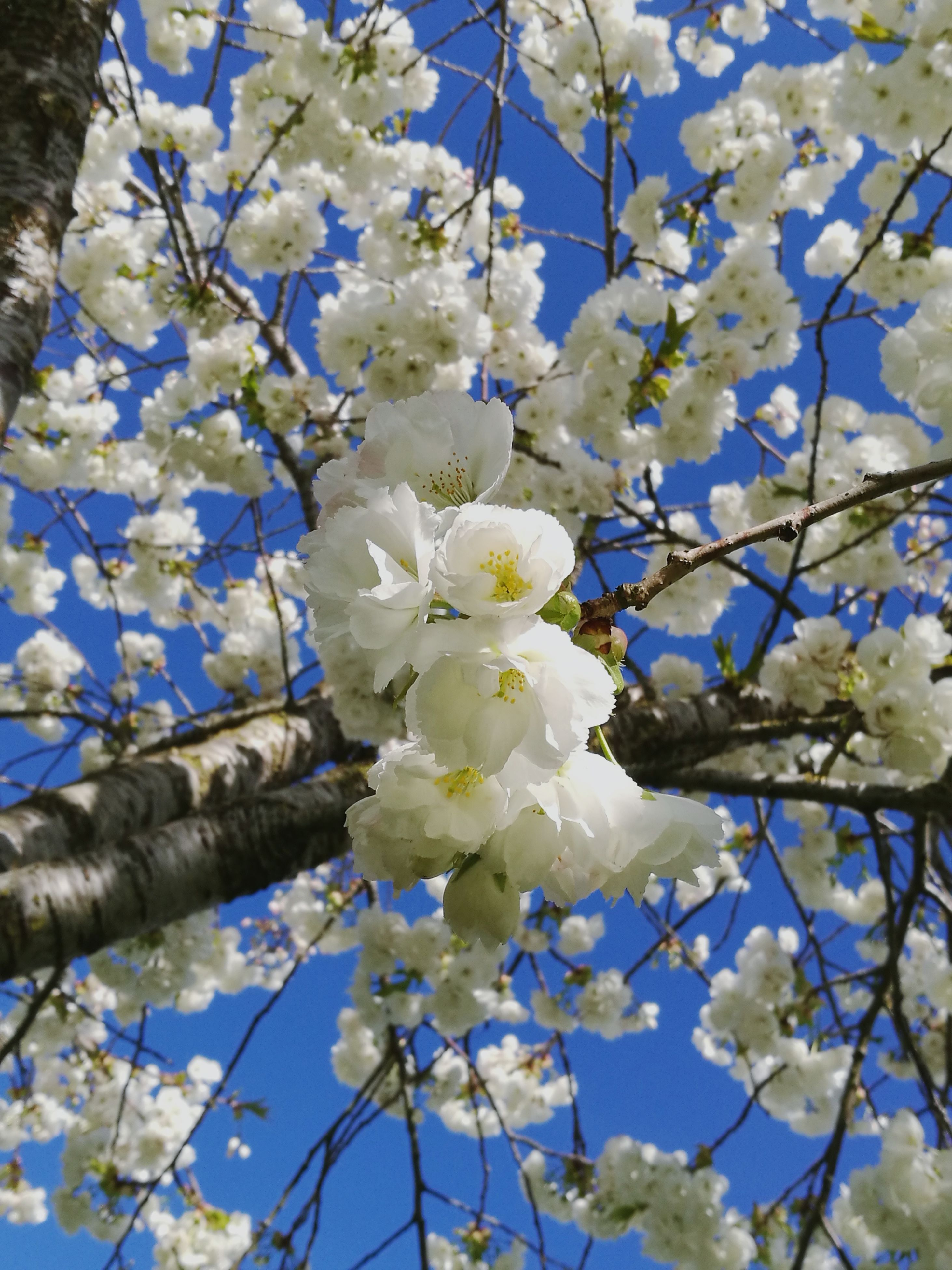 flower, nature, growth, white color, beauty in nature, tree, fragility, blossom, no people, branch, twig, springtime, close-up, outdoors, low angle view, freshness, day, flower head, plum blossom
