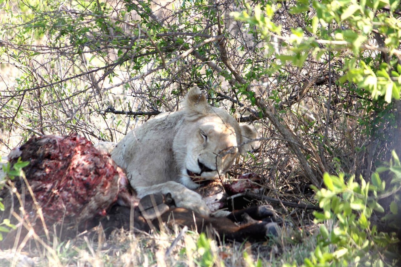 Animal Themes One Animal Animals In The Wild Tree Wildlife Mammal Selective Focus Zoology Branch Plant Day Nature Outdoors Whisker Animal White Lion Of Timbavati Timbavati Game Reserve