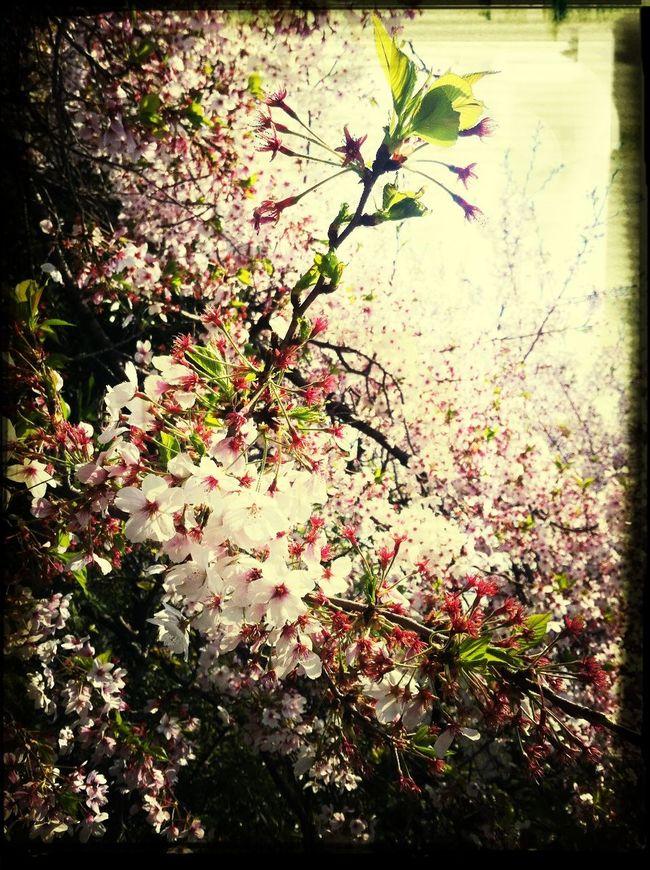 桜散りゆく 春去る間近