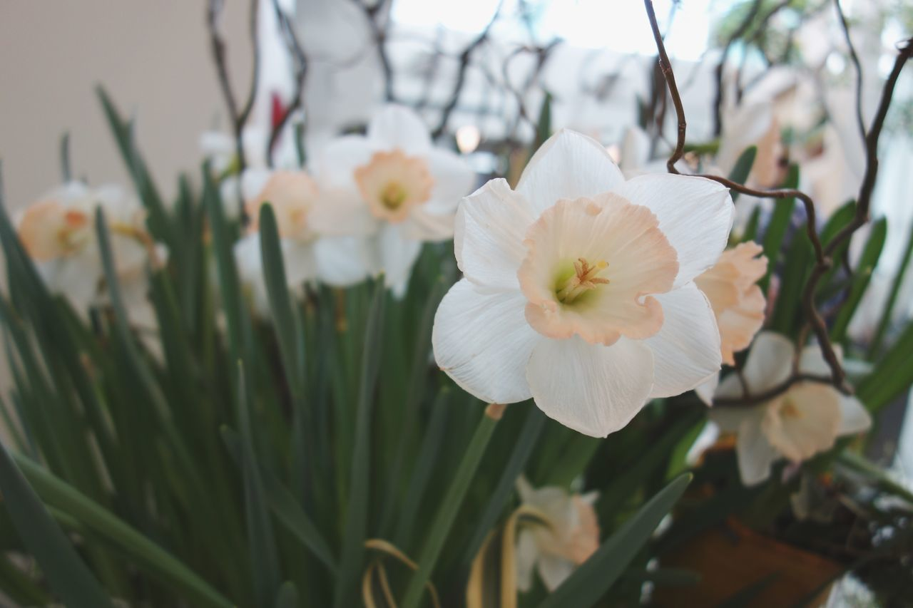 Spring colours Flower Beauty In Nature Fragility Nature Growth Freshness Petal White Color Close-up Flower Head Blooming Focus On Foreground Plant No People Outdoors Daffodil EyeEmNewHere Rx100
