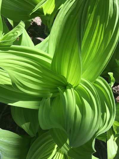 Corn Lily Green Nature Sierra Flower Whorled Foliage Leaf Mountain Range Texture