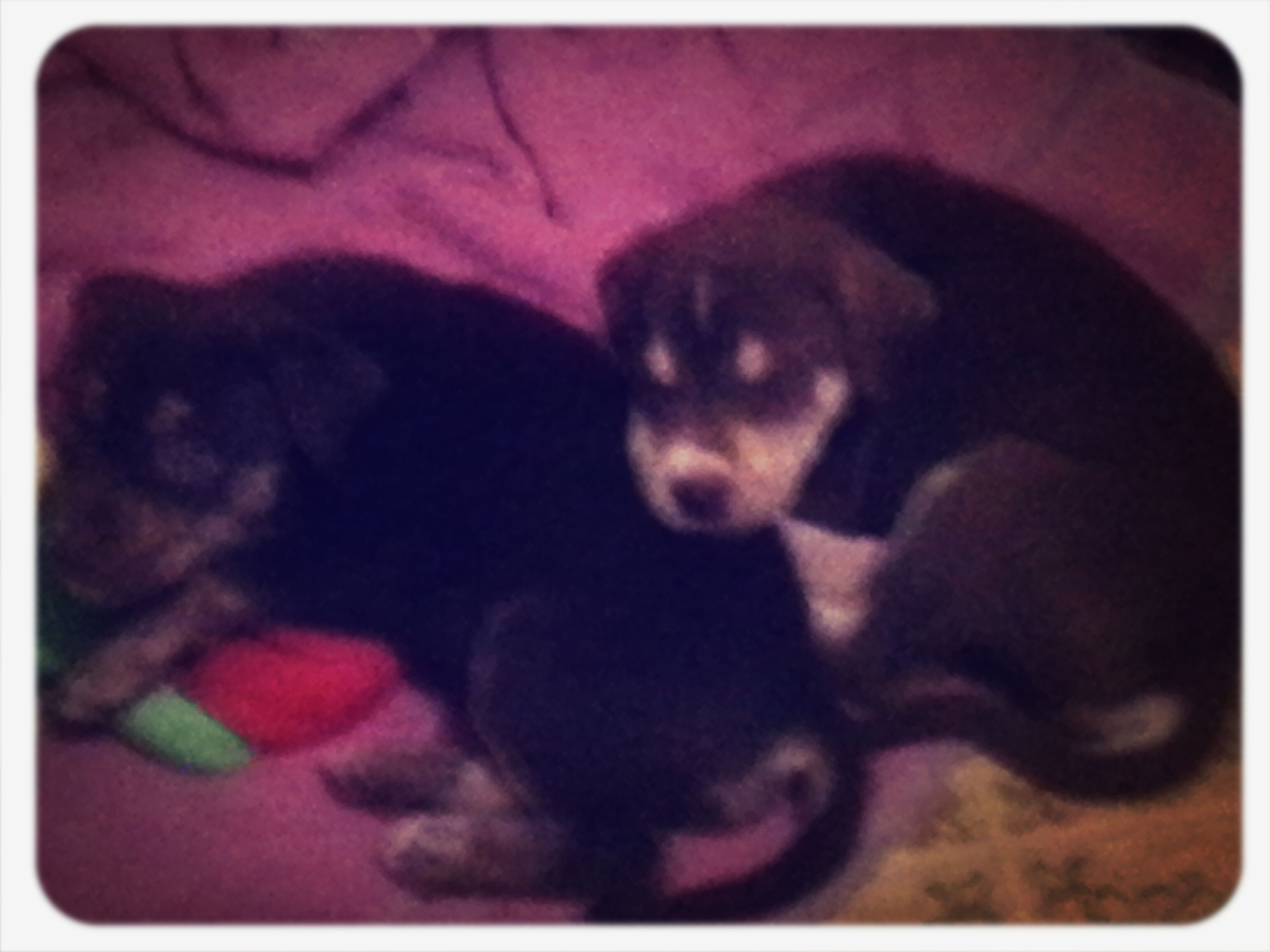 The puppys of awesomeness sully(mason) and marly! Dogs puppy
