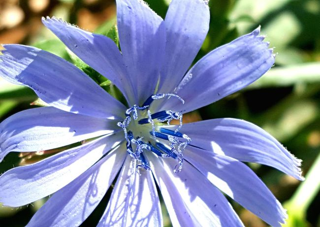 Close-up Flower Growth Freshness Fragility Flower Head Blue Beauty In Nature In Bloom Purple Blossom Focus On Foreground Botany Petal Nature Plant Single Flower Outdoors Day Wildflower