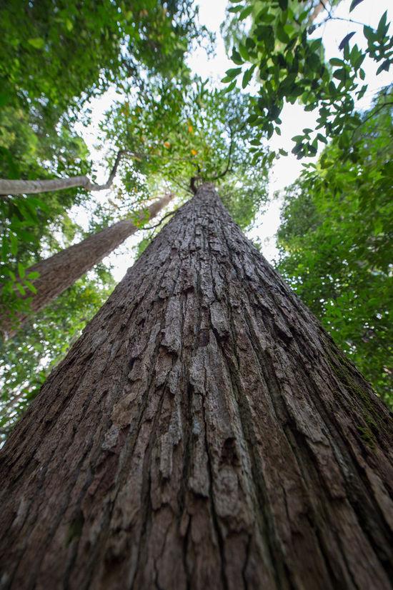 Massiv BukitTImahHIll Sing Bukit Timah Nature Reserve Bukittimah Growth Low Angle View Nature Rainforest Rainforest Walks Tree Tree Trunk Wood - Material