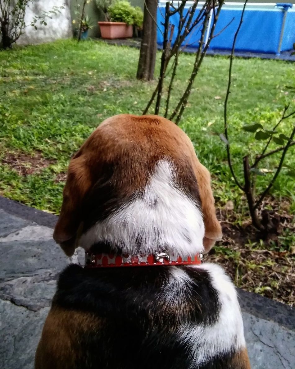 Observando la lluvia ☔ Animal Themes One Animal Mammal Tree Day Outdoors Animals In The Wild Grass Nature Rain Beagle Beaglelove Buenosaires Fotografia Photography VSCO Pet Pet Photography  Dogslife