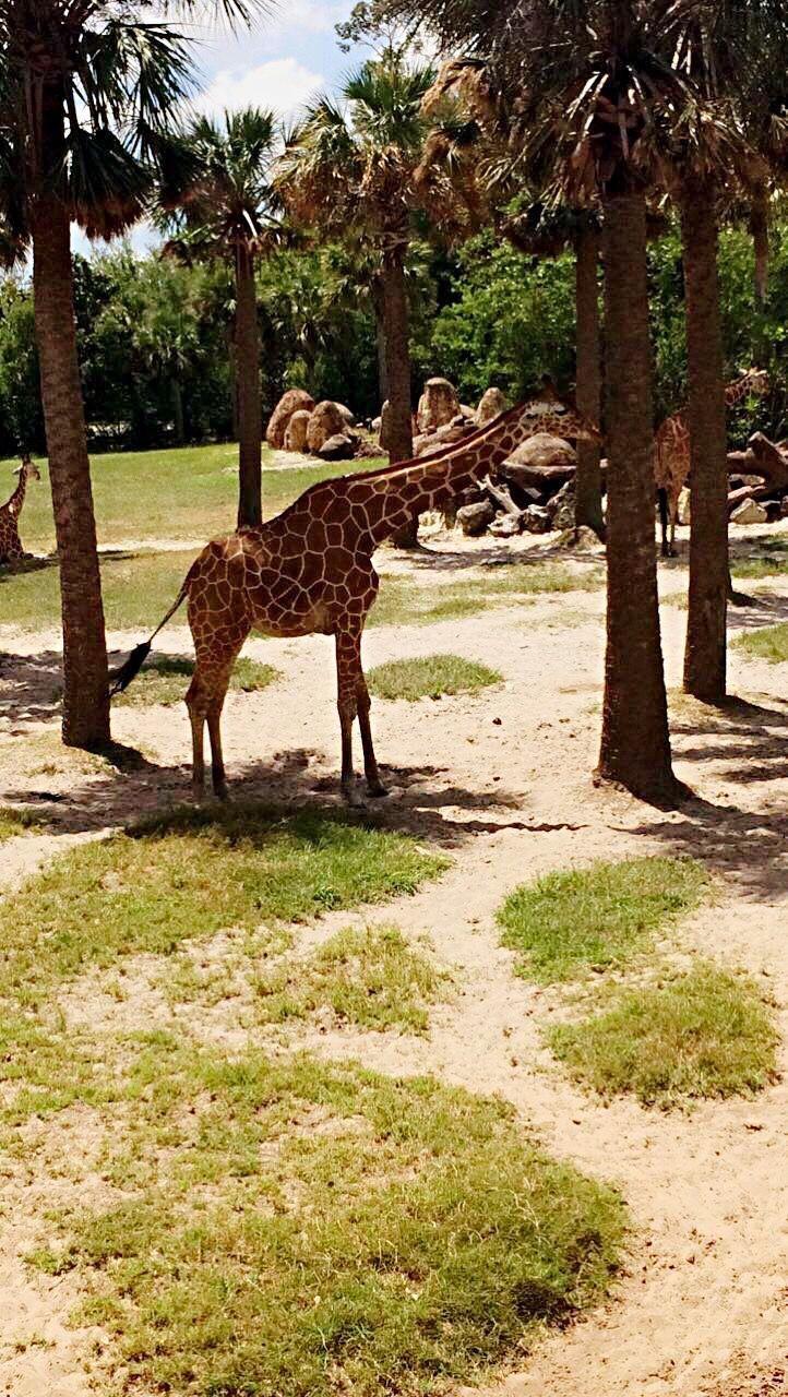 one animal, tree, animal themes, animals in the wild, animal wildlife, mammal, day, giraffe, nature, safari animals, no people, outdoors, full length, grass, sky