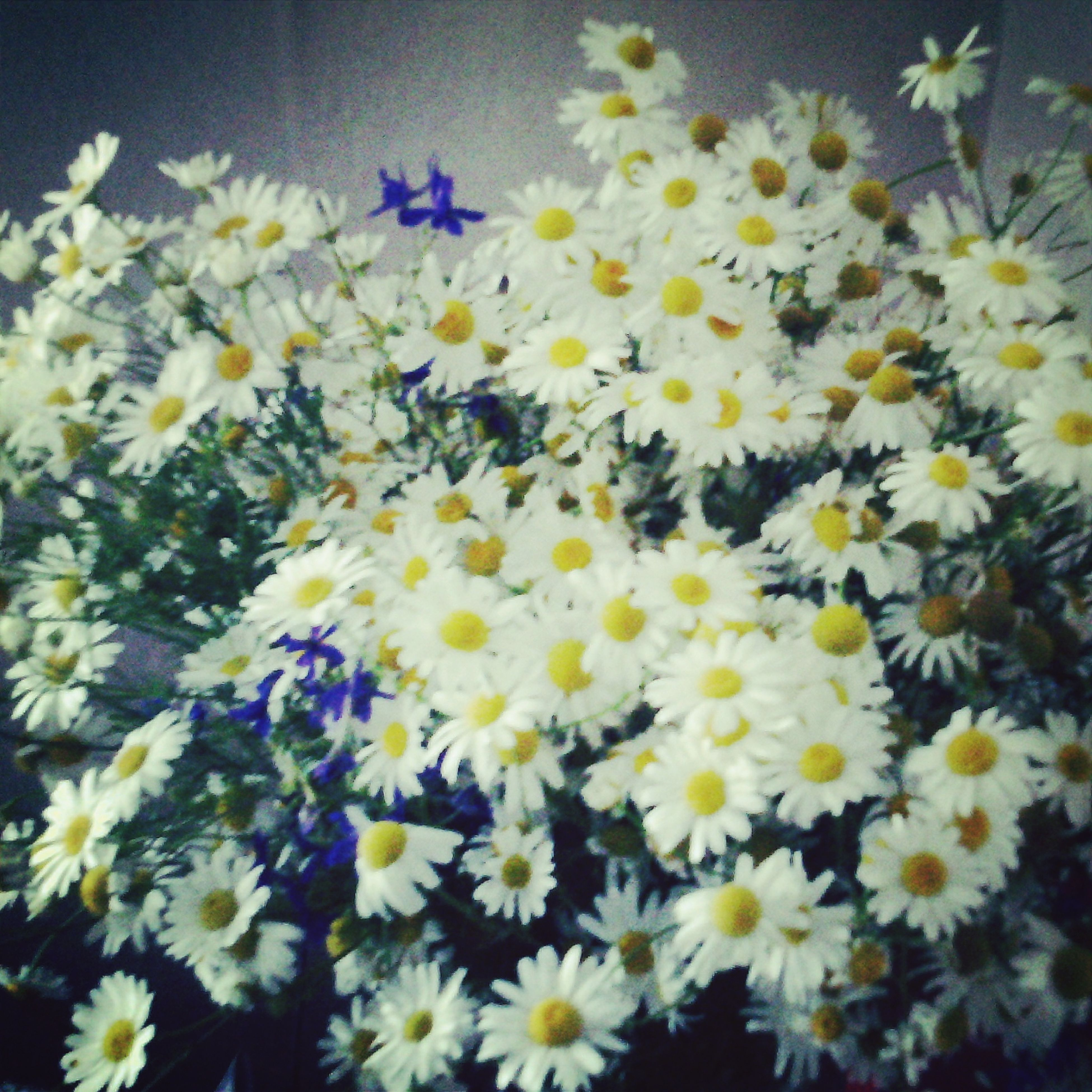 flower, freshness, petal, fragility, flower head, yellow, growth, beauty in nature, daisy, blooming, white color, plant, nature, high angle view, close-up, pollen, in bloom, abundance, no people, day