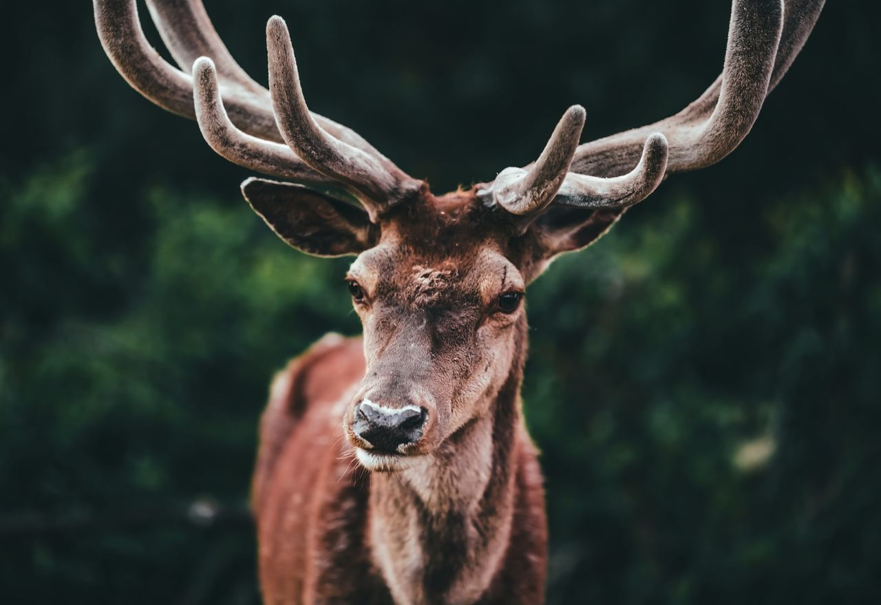 Beautiful stock photos of hirsch, Animal Themes, Animal Wildlife, Animals In The Wild, Brown