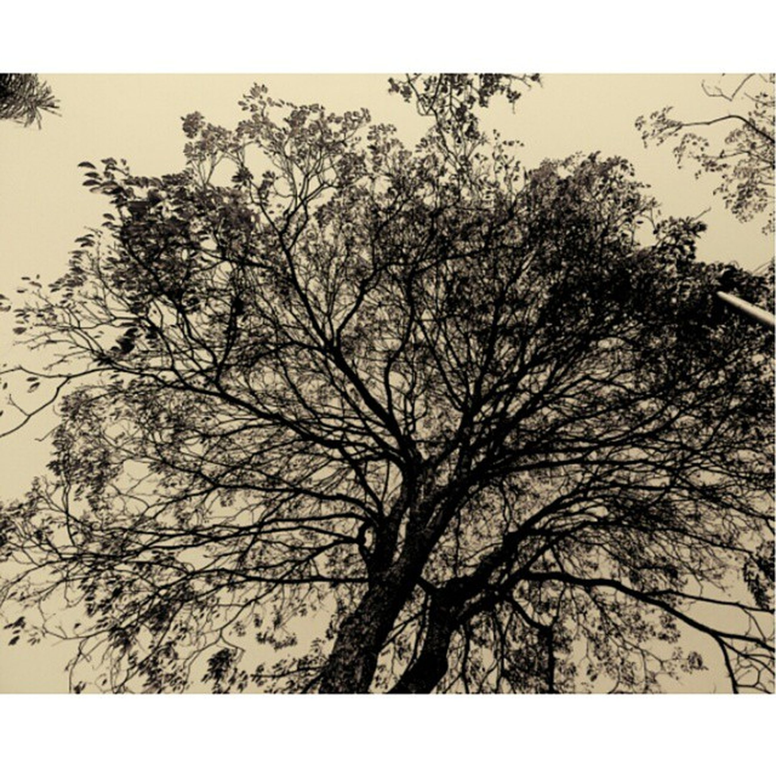 transfer print, tree, low angle view, auto post production filter, branch, sky, bare tree, growth, nature, clear sky, tranquility, silhouette, beauty in nature, outdoors, day, no people, tree trunk, scenics, tranquil scene, high section