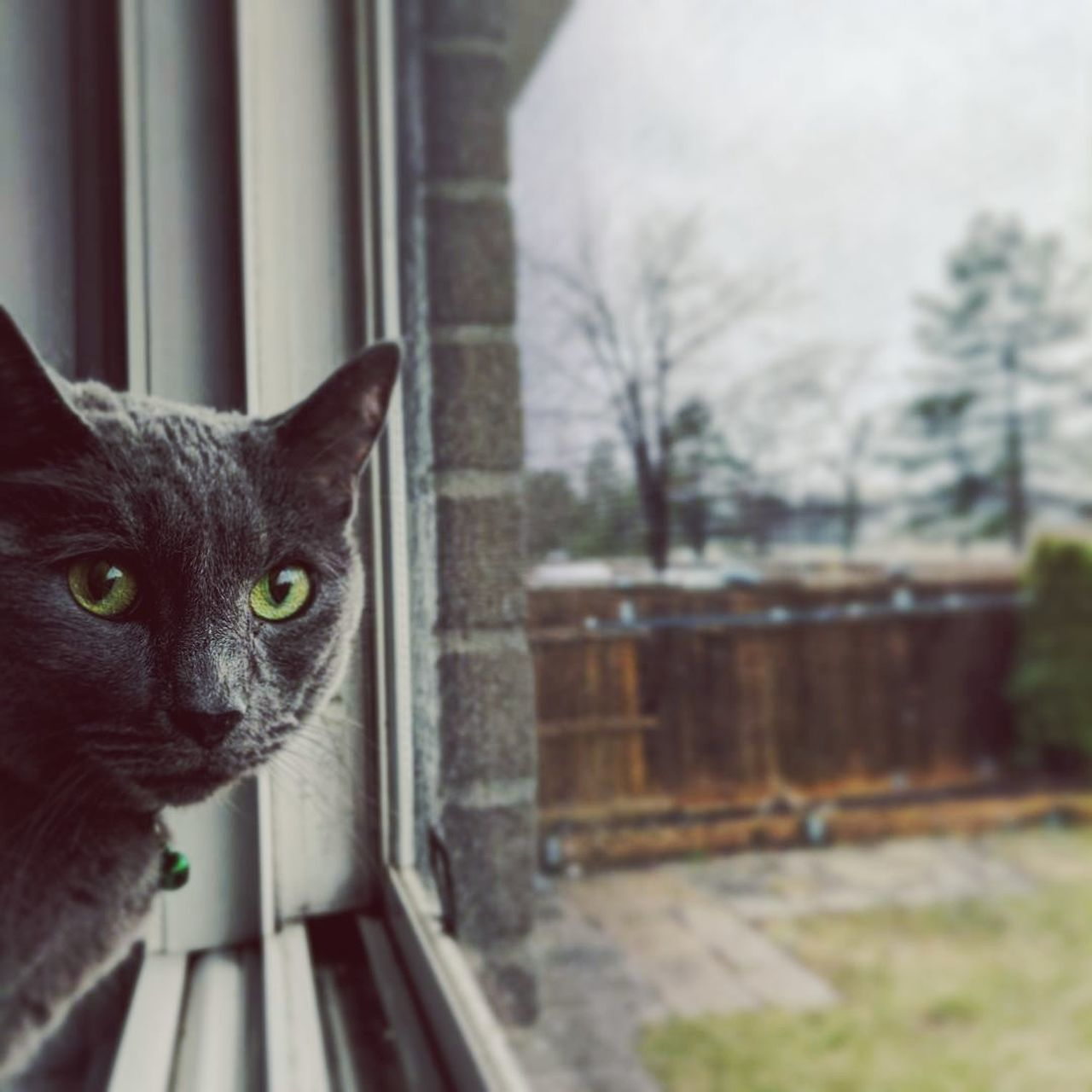 Pets Close-up Looking At Camera RussianBlue Cat Lovers Catsofinstagram Photooftheday Whisker Window Cat♡ Domestic Cat Animal Themes Focus On Foreground One Animal First Eyeem Photo