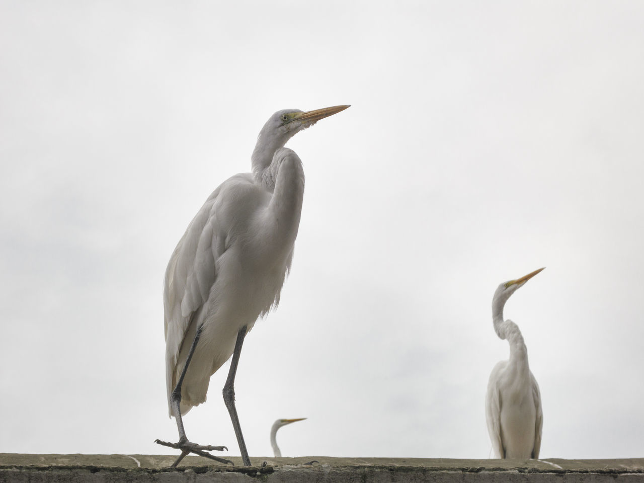 bird, animal themes, animals in the wild, two animals, animal wildlife, nature, day, full length, egret, great egret, outdoors, beak, water, no people, perching, beauty in nature, sky, close-up
