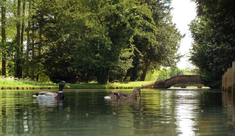 Animal Themes Animals In The Wild Audley End Bridge Duck Green Lake Lush Foliage Nature Outdoors Relaxing Relaxing Moments River Tranquility Water Wildlife