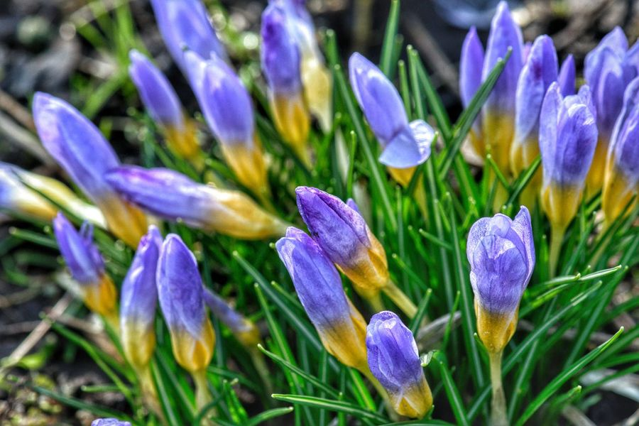 Flower Nature Fragility Freshness Beauty In Nature Petal Flower Head Growth Day Plant Purple Blooming Crocus No People Close-up Outdoors