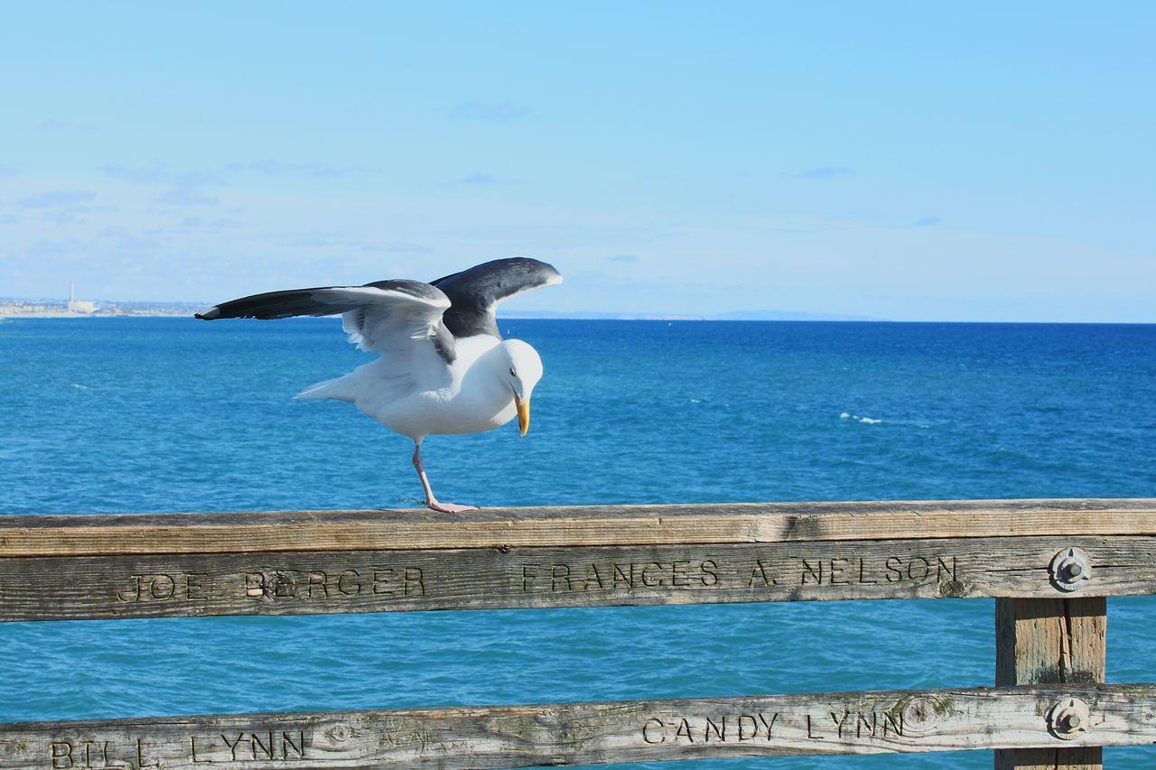 One legged Seagull Oceanside Pier. Oceanside California Summer ☀