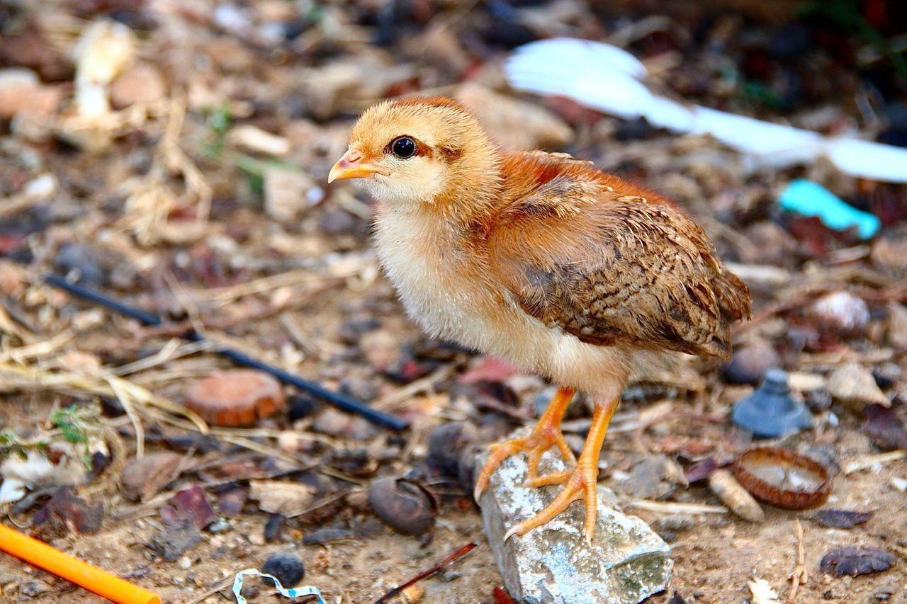 Beautiful stock photos of birds, Alone, Animal, Bird, Chick