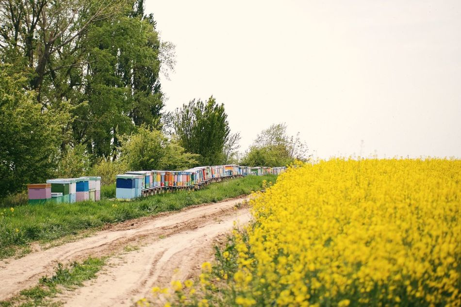 Bee hives 🐝 Beauty In Nature Colorful Bee Hive Hives Bees Bee 🐝 Honey Bees  Tree Nature Yellow Clear Sky Field Landscape Rural Scene Plant Flower Sky Outdoors VSCO Made In Romania Stup My Favorite Photo Details Of My Life Colza