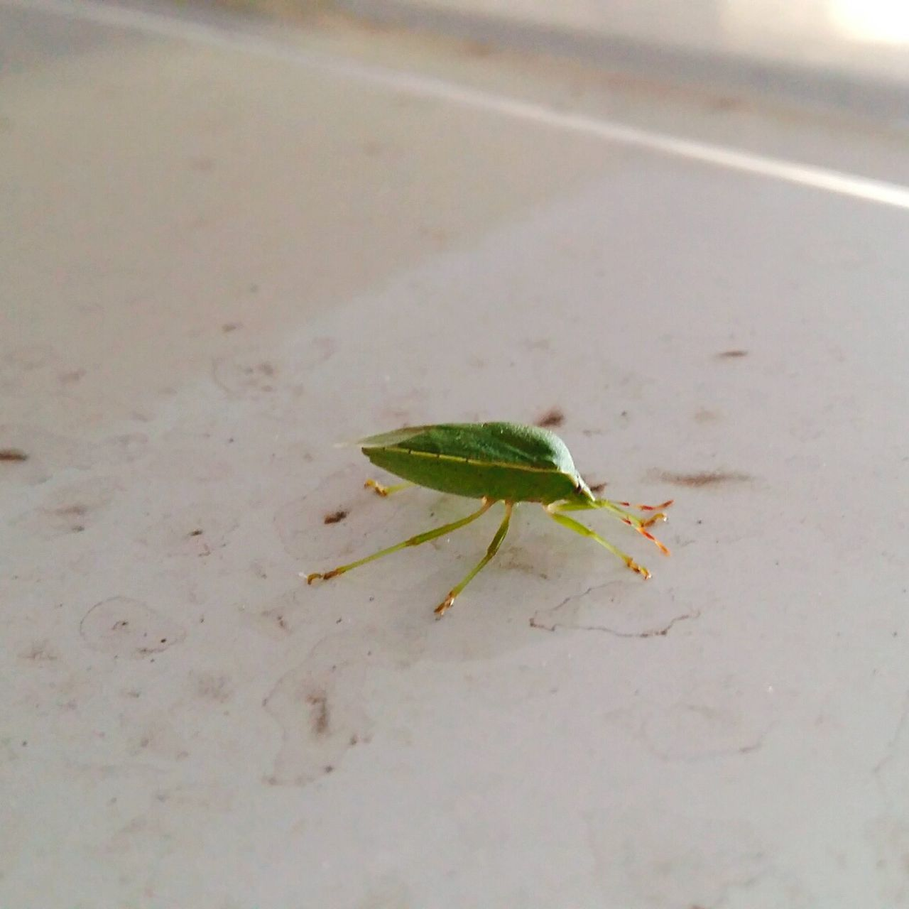 Green Bug Stink Bug Pentatomidae Taking A Joyride On Top Of... my Car Roof Telling Stories Differtenly Colour Of Life Maximum Closeness