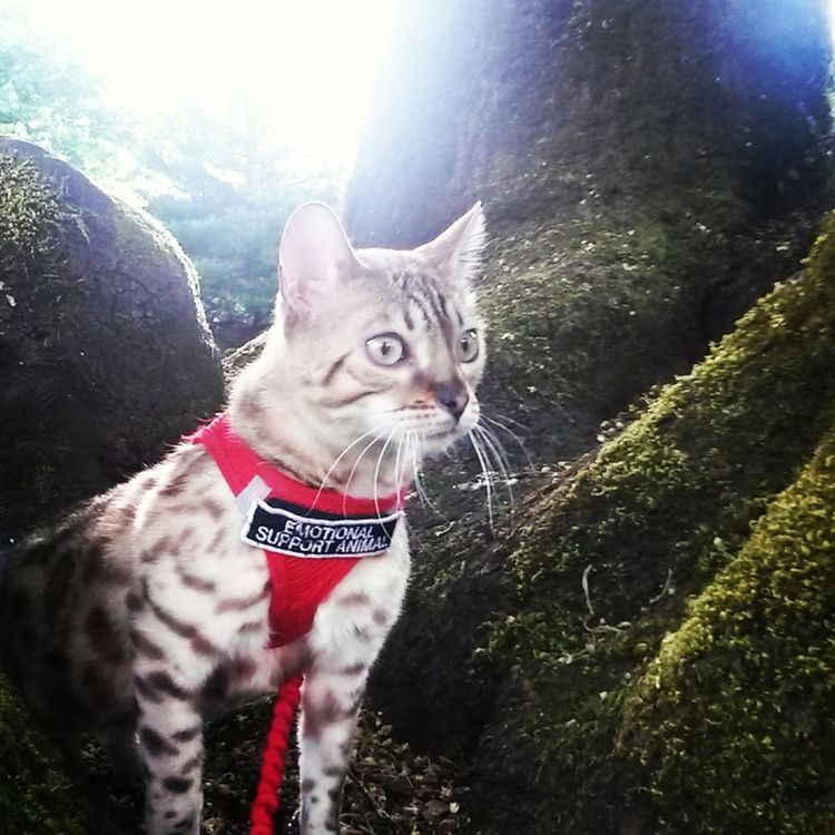 Alertness Animal Animal Head  Animal Themes Bengal Kitten Cat Close-up Day Domestic Animals Domestic Cat Emotional Support Anim Feline Focus On Foreground Mammal Nature No People Outdoors Pet Collar Pets Portrait Sky Whisker