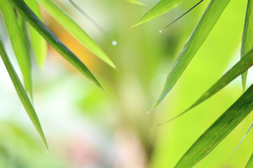 Green Color Leaf Nature Close-up Growth Plant Grass Environment Outdoors No People Palm Tree Day Freshness New RainDrop Plant Water Beauty In Nature Bamboo Tree...
