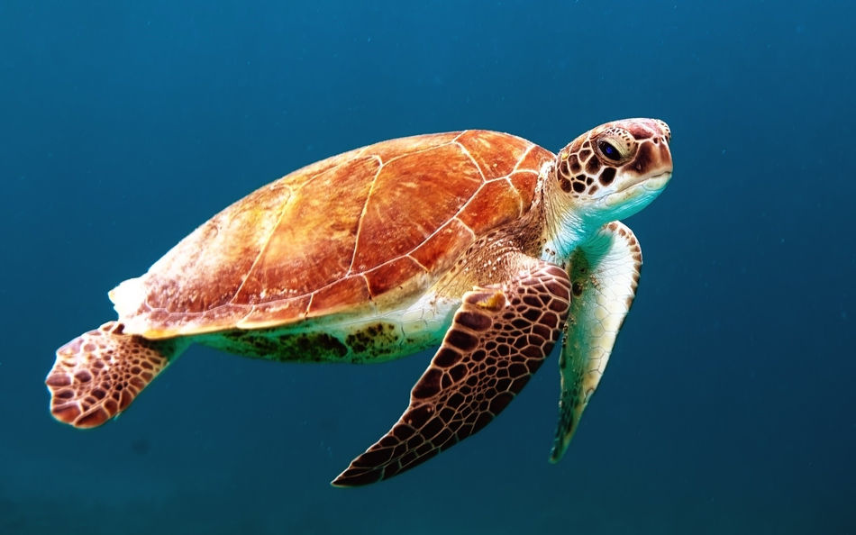 Animal Themes Animal Wildlife Animals In The Wild Close-up Day Nature No People One Animal Sea Sea Life Sea Turtle Seaside Swimming Tortoise Shell Turtle Turtles UnderSea Underwater Water
