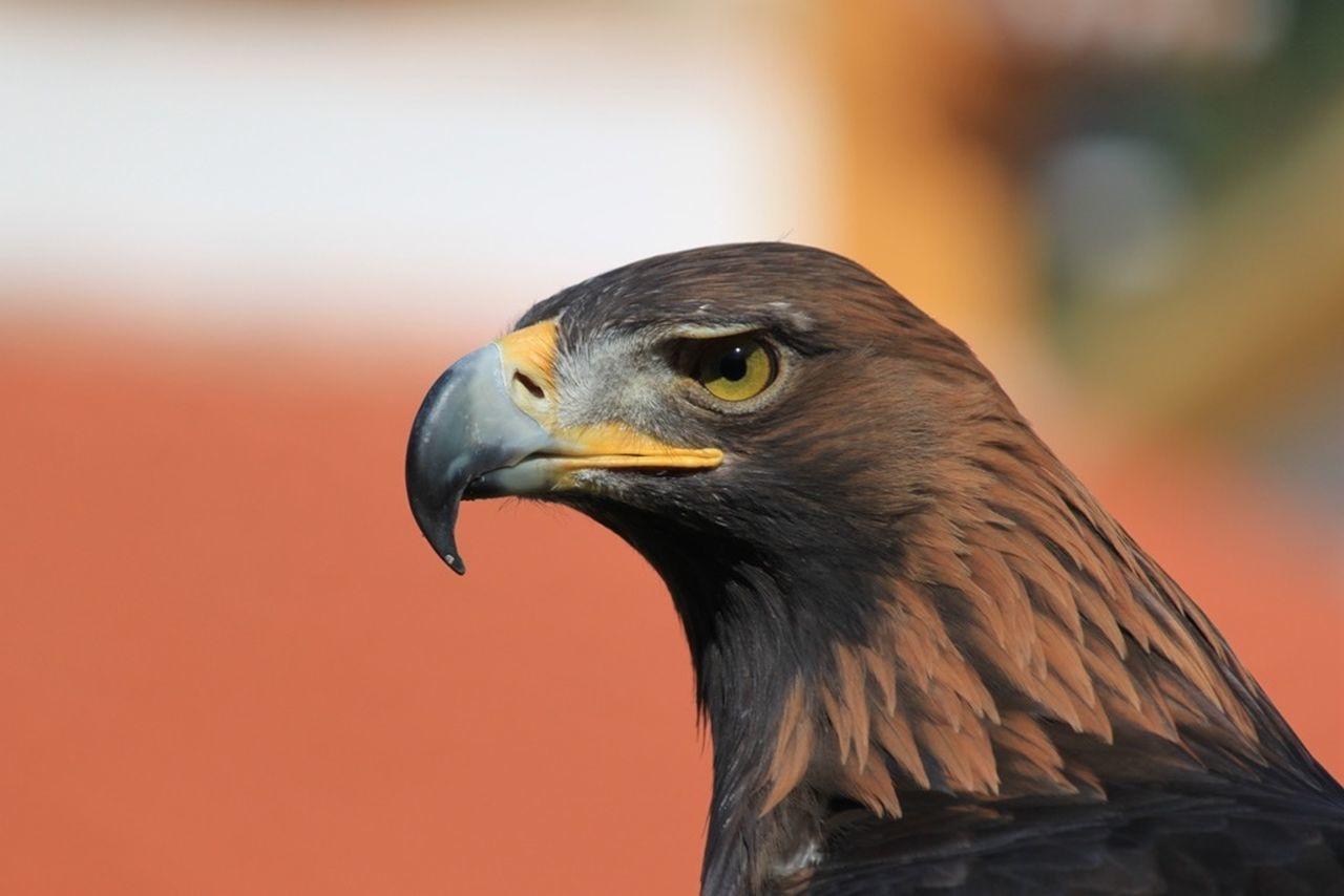 Beautiful stock photos of eagle, Animal Body Part, Animal Head, Animal Themes, Animals In The Wild