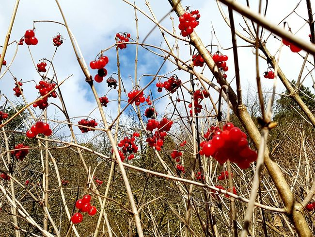 Fruit Nature Growth Red Tree Close-up Food And Drink Outdoors Berry Fruit Full Frame Rose Hip No People Plant Freshness Day Sky Rowanberry Beauty In Nature Lithuania Lithuania Nature Winter Berries