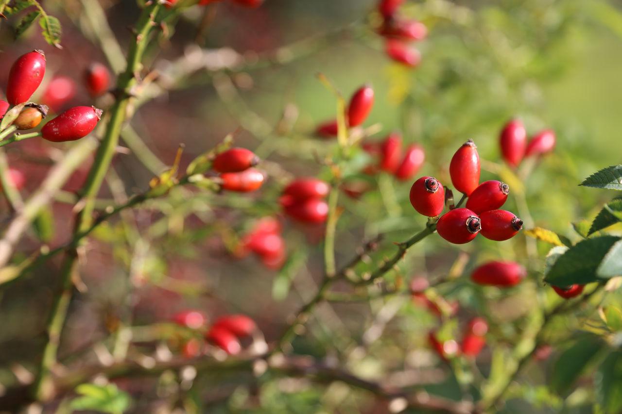 Hip Rose Hip Wild Brier Red Fruit Nut Nut Schönberger Strand Botany Close Up