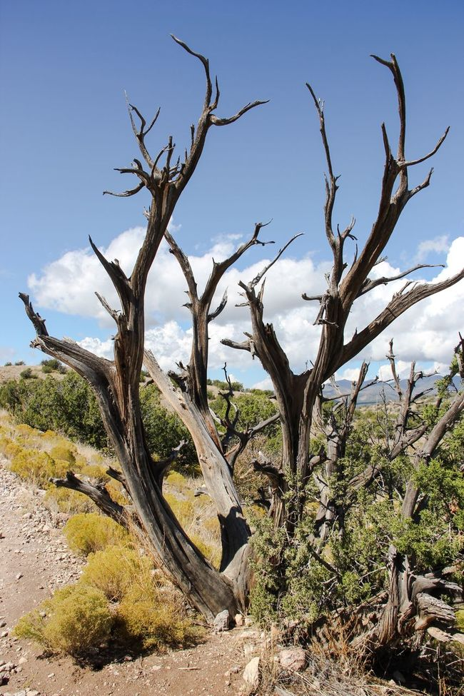 Bare Tree Tranquility Tranquil Scene Tree Landscape Tree Trunk Branch Scenics Non-urban Scene Dead Plant Nature Travel Destinations Sky Remote Beauty In Nature Growth Cloud - Sky Dead Tree Tourism Mountain Kasha-Katuwe Tent Rocks National Monument USAtrip USA Extreme Terrain Arid Climate