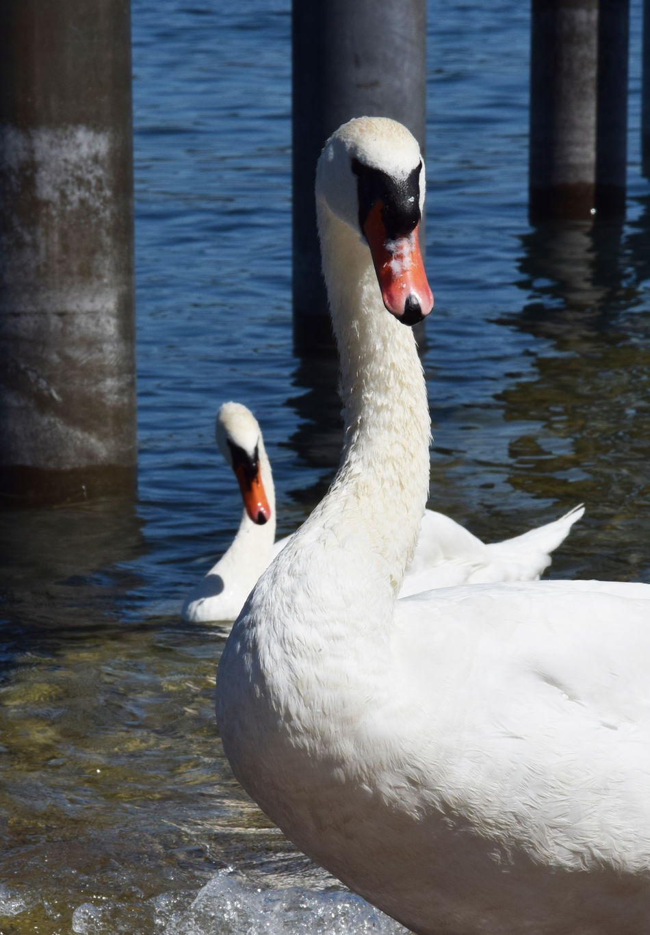 Simoultan motion - two swans Animal Animal Themes Animals In The Wild Avian Beak Bird Floating On Water Lake Nature Swan Swimming Water Water Bird White Color Wildlife Zoology Two Is Better Than One