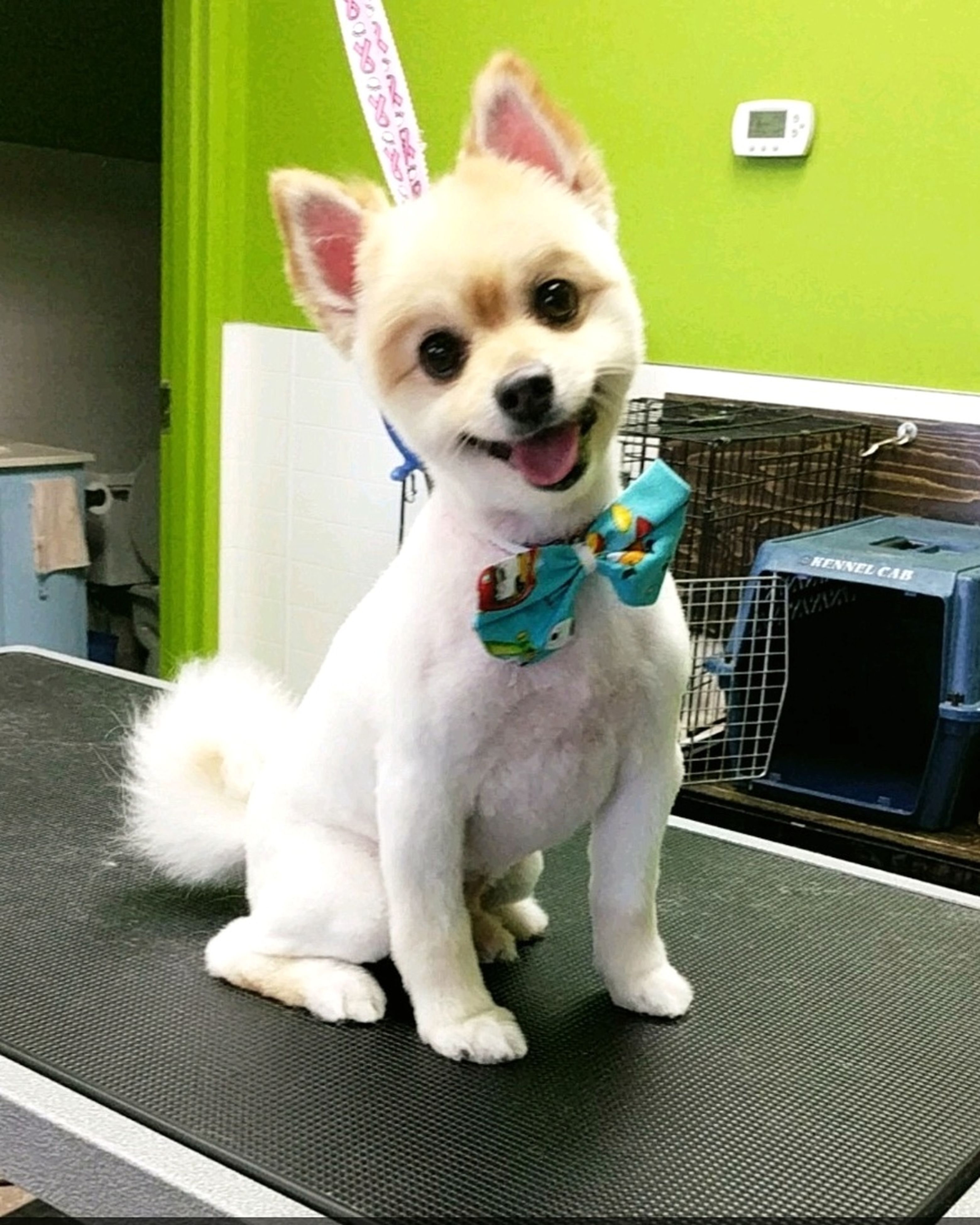 pets, dog, looking at camera, portrait, one animal, animal themes, domestic animals, full length, no people, indoors, mammal, day, pet clothing, pomeranian