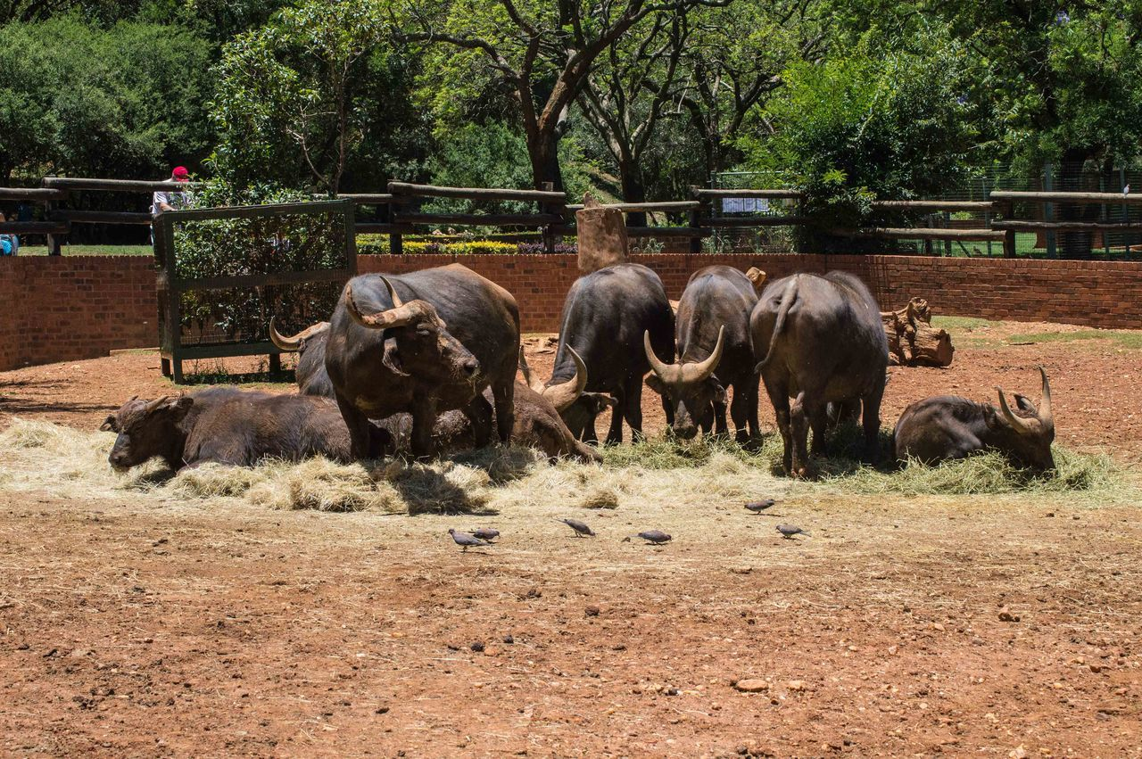 tree, animal themes, livestock, domestic animals, mammal, day, bull, outdoors, nature, grazing, large group of animals, no people