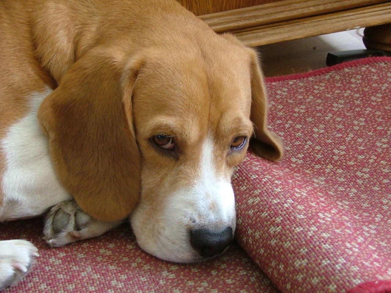 Animal Beagle Beagle Love Beaglelove Beaglelovers Beaglemania Beagleoftheday Beagles  Betyár Cute Dog Home Indoors  Pets Portrait Raskal