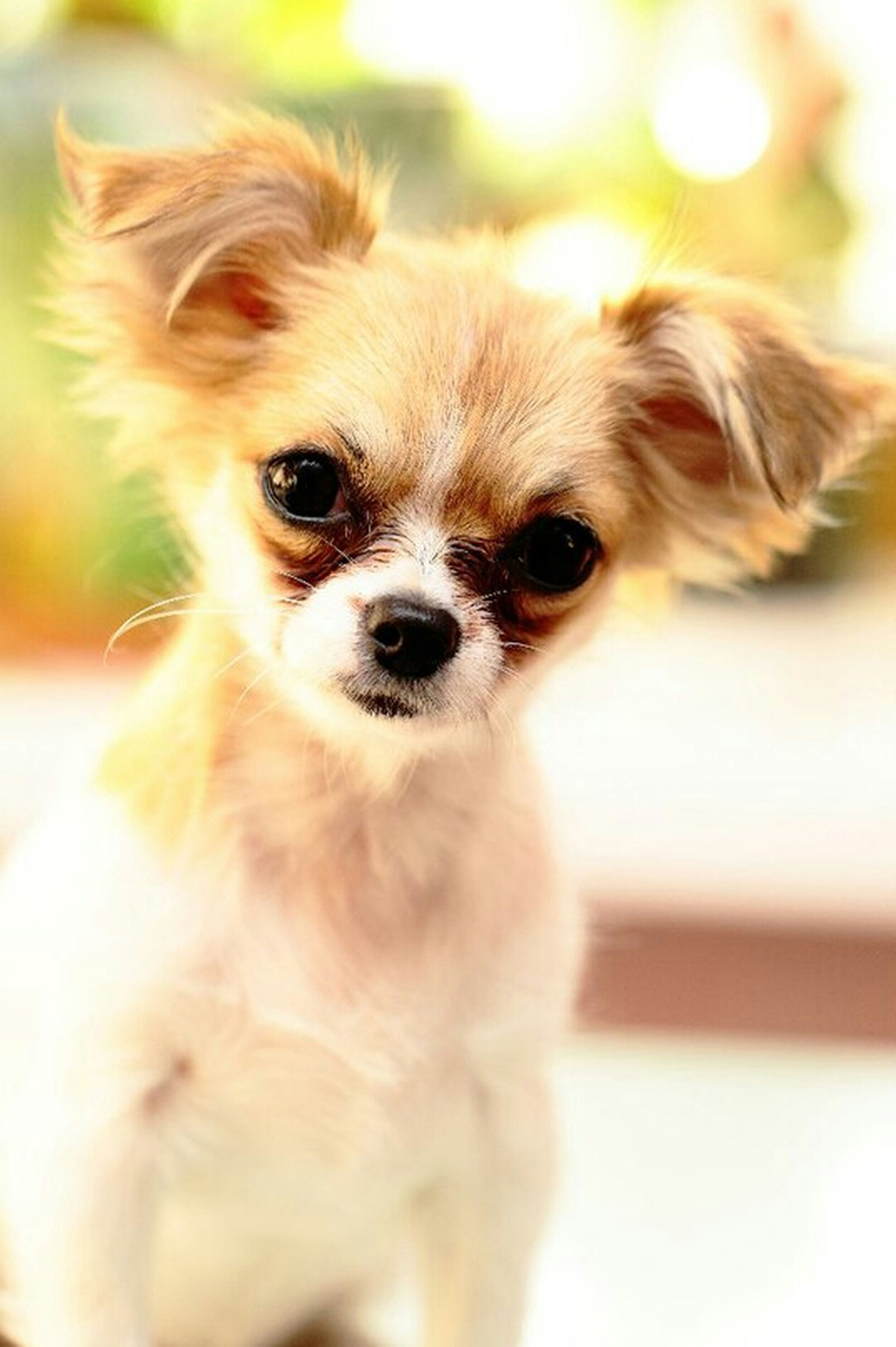 pets, animal themes, dog, domestic animals, one animal, mammal, portrait, looking at camera, indoors, focus on foreground, close-up, cute, animal hair, animal head, front view, young animal, no people, selective focus, puppy