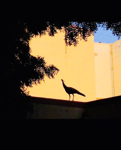 Peacock Beauty In Nature Silhouette Sunset One Animal Animal Themes Animals In The Wild No People Outdoors Tree Nature Day Sky Bird