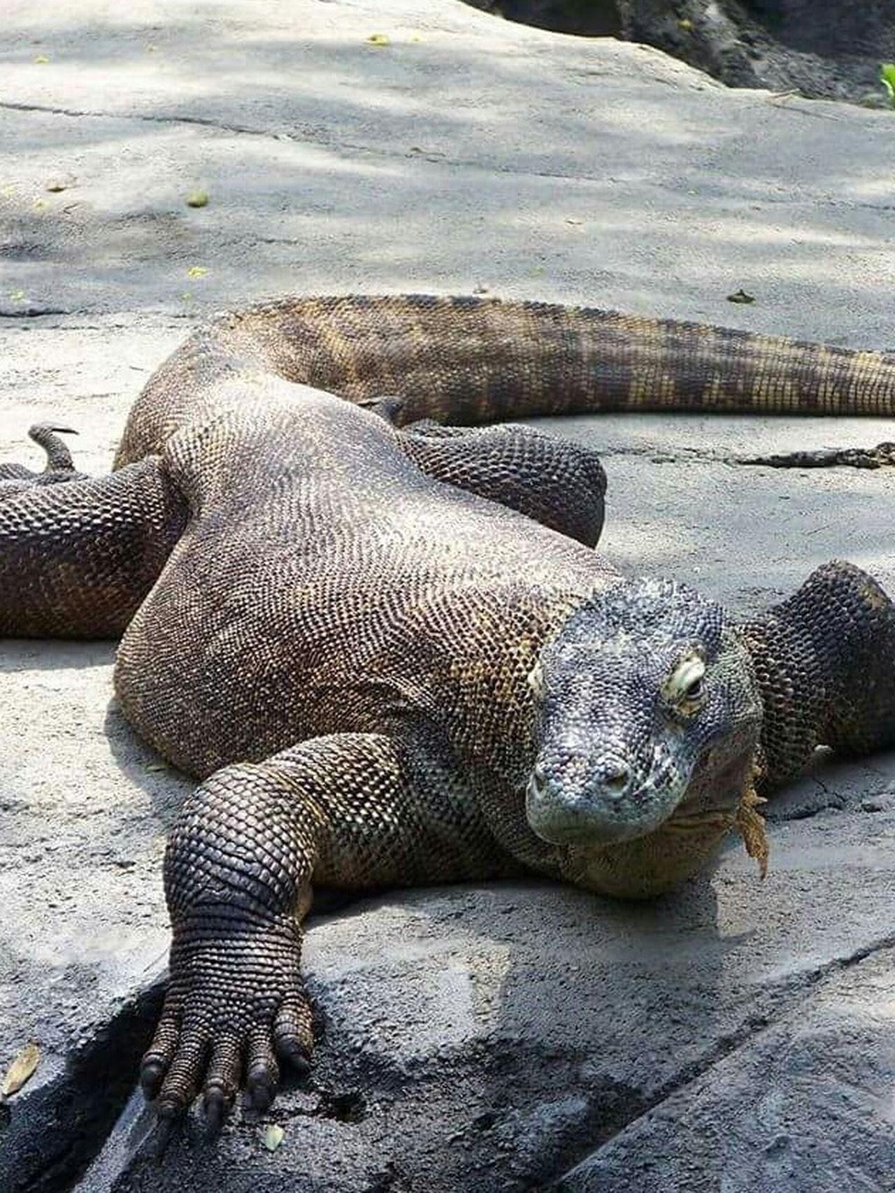 Komodo Dragon Columbuszoo Cheese! Ohio Lizardlove Eyeem Lizards SaveKomodo Lizardporn Lizard Love