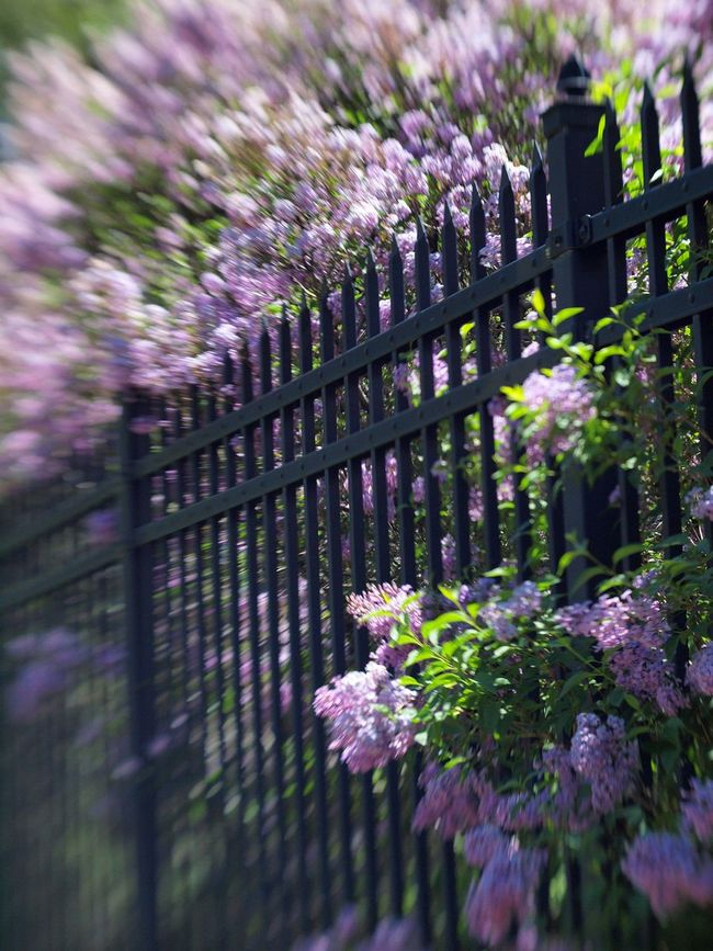 Lilacs & Wrought Iron Blooming Blossom In Bloom Lilacs Motion Blur Outdoor Bloom Purple Springtime Springtime Blossoms Wrought Iron Gate