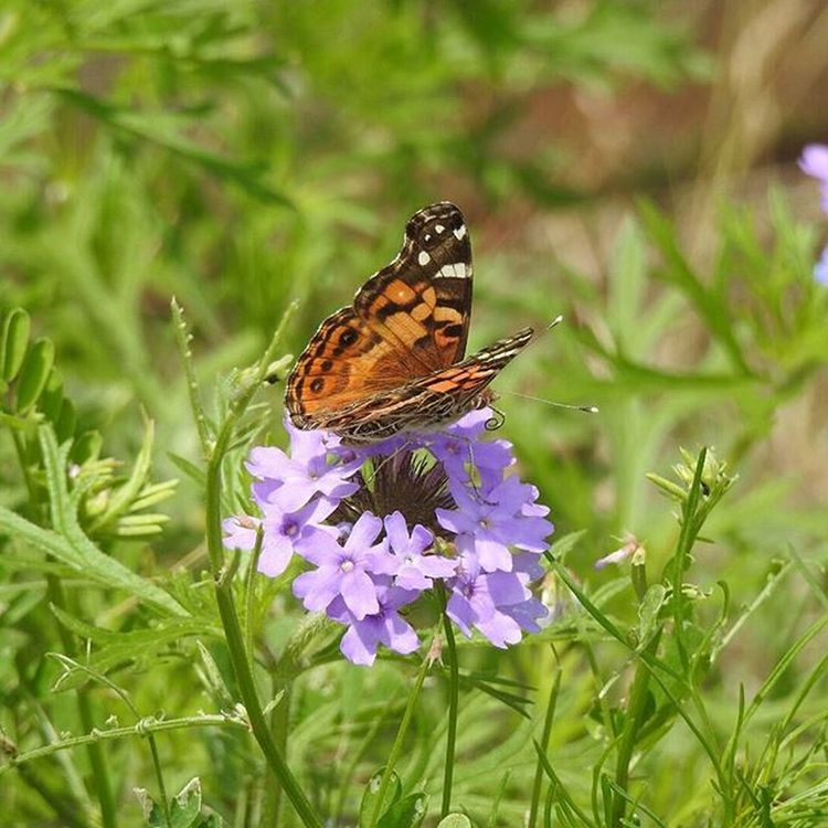 Butterfly Macro Nature On Your Doorstep Nature Photography Wildflowers No Edit No Filter Photography Phlox