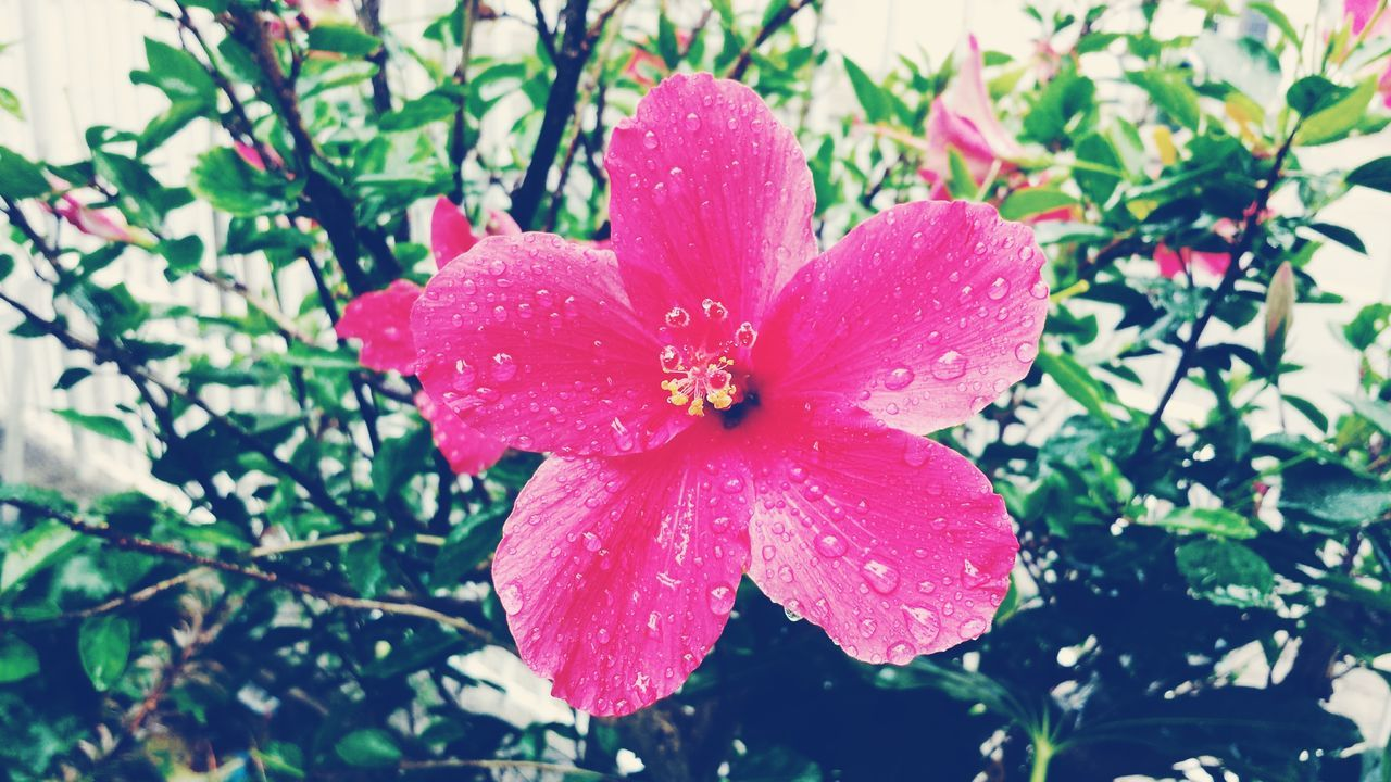 Hibiscus Flower Rain Drop Beauty In Nature Porto Portugal First Eyeem Photo