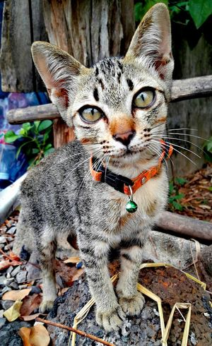 Animal Themes Domestic Cat Close-up Pets Portrait Outdoors Domestic Animals Inspiring_photography_admired VPS2017 Eye4photography  Beauty In Nature 2017 EyeEm Selects Thailand 2017 Photo Trending Now Beauty In Everything Beauty David Lindkjølen Photography Be. Ready. EyeEmNewHere