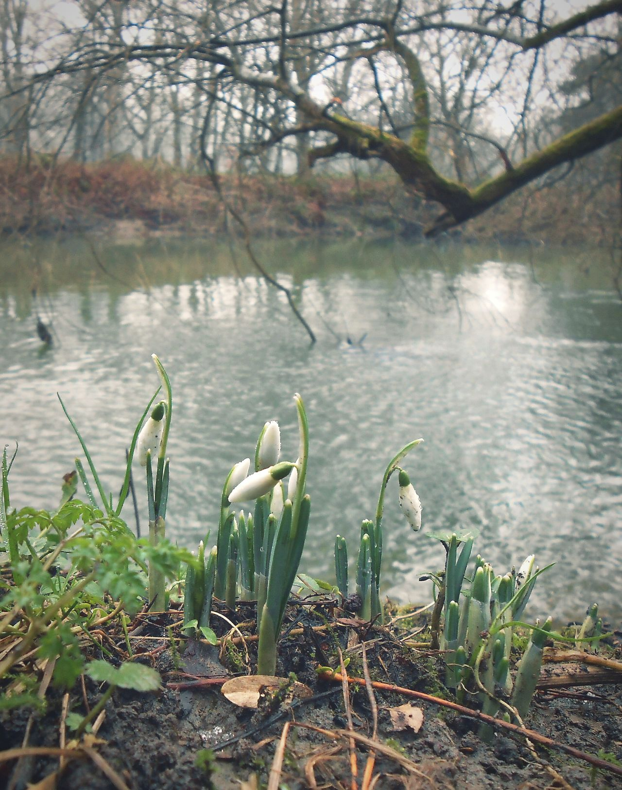 Chasing Spring in January. .. First Snowdrop s by the River . Newtown Powys Wales Winter Snowdrops подснежники река Flowers