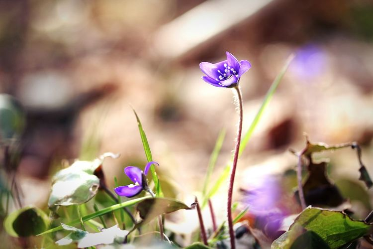 Blue Lilies Flower Purple Nature Fragility Petal Flower Head Outdoors Beauty In Nature Growth Wildflower In The Forest 🌳🌲🌾