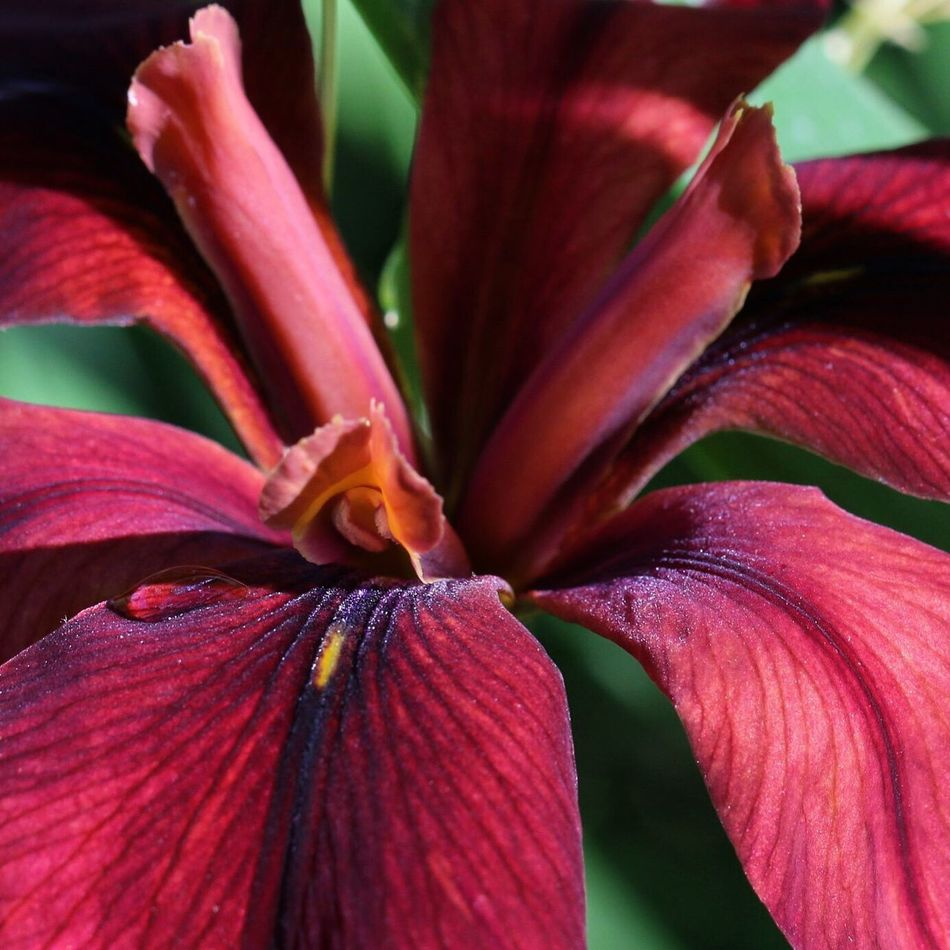 Iris Louisiana Iris Colorful Springtime Red