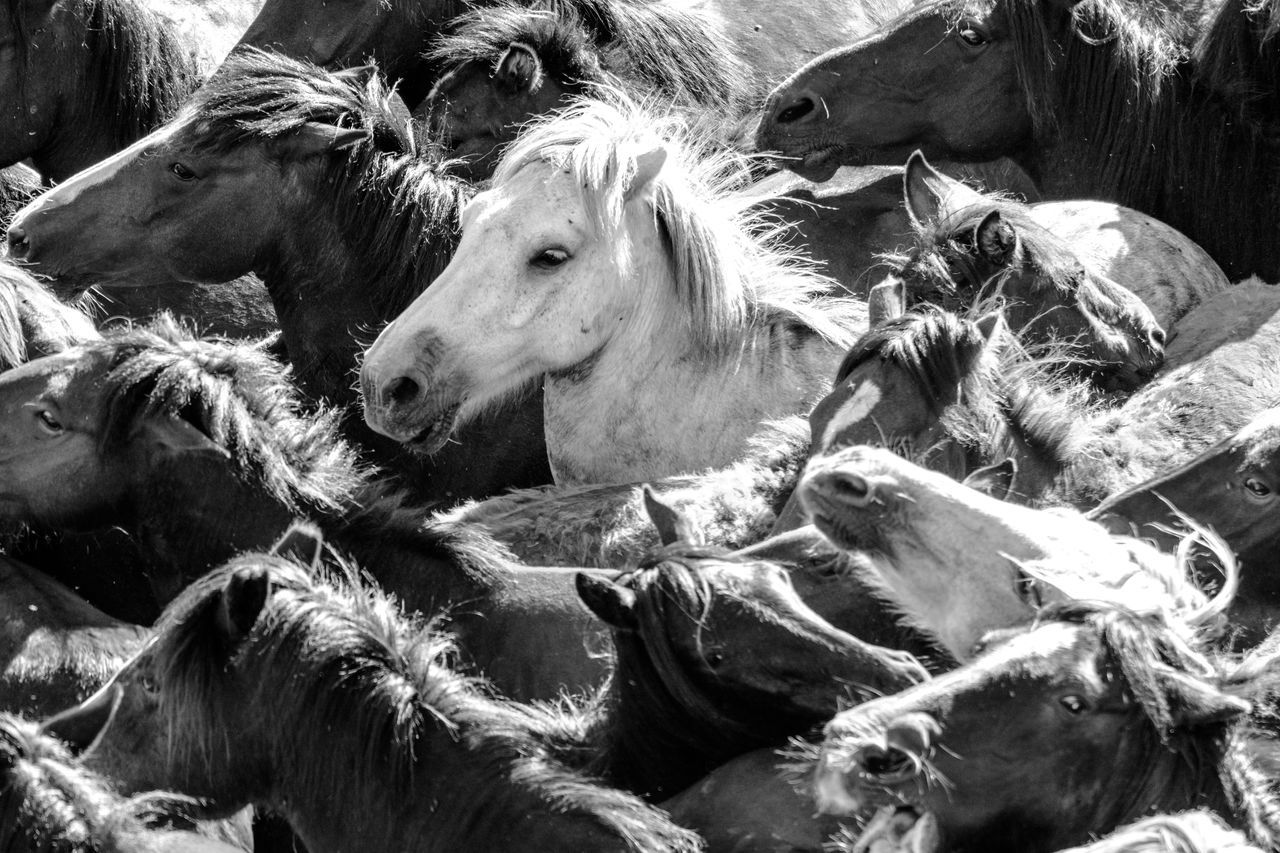 Animal Head  Animal Themes Black And White Close-up Day Detail Galicia, Spain Herd Horses Livestock Mammal Monochrome Nature No People Outdoors Rapa Das Bestas Sunny Day Wildlife Fresh On Market 2017
