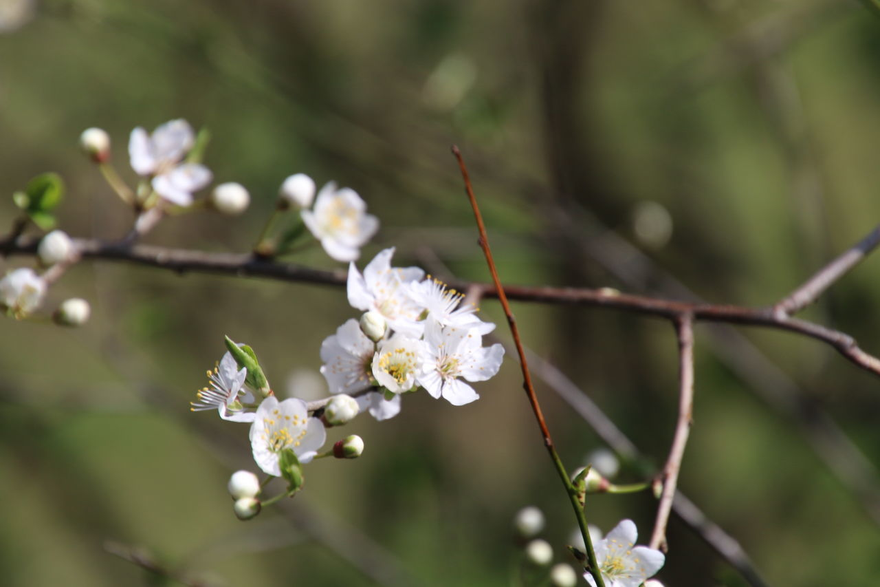 Nature Flower Growth Beauty In Nature Blossom White Color Branch Flower Head Springtime Tree Almond Tree Fragility Close-up Plant Outdoors No People Biology Freshness Day