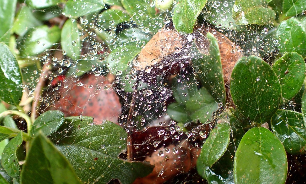 Beauty In Nature Close-up Drop Freshness Leaf Outdoors Plant RainDrop Spider Web Wet