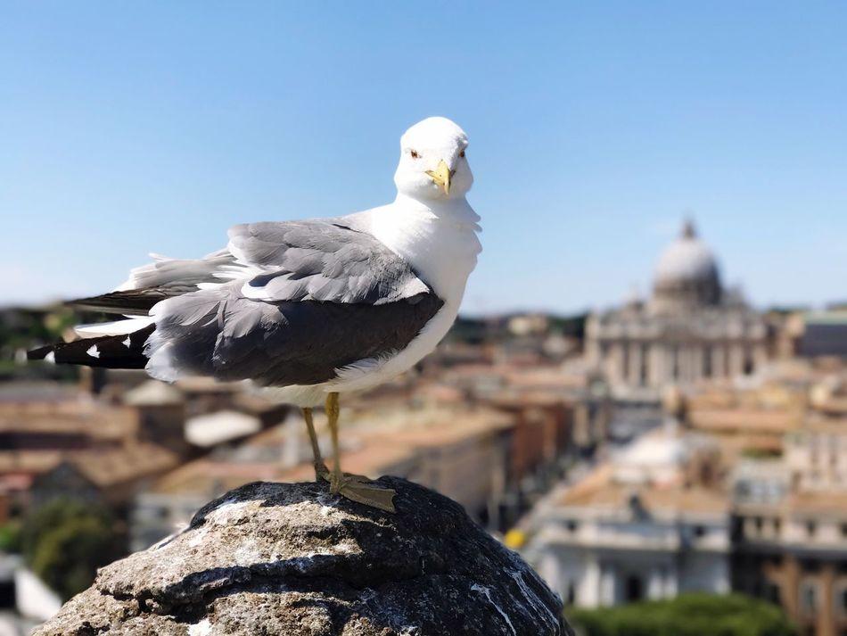 Roma Rome Bird Day One Animal Move Vatikan Peter Petersdom Rom