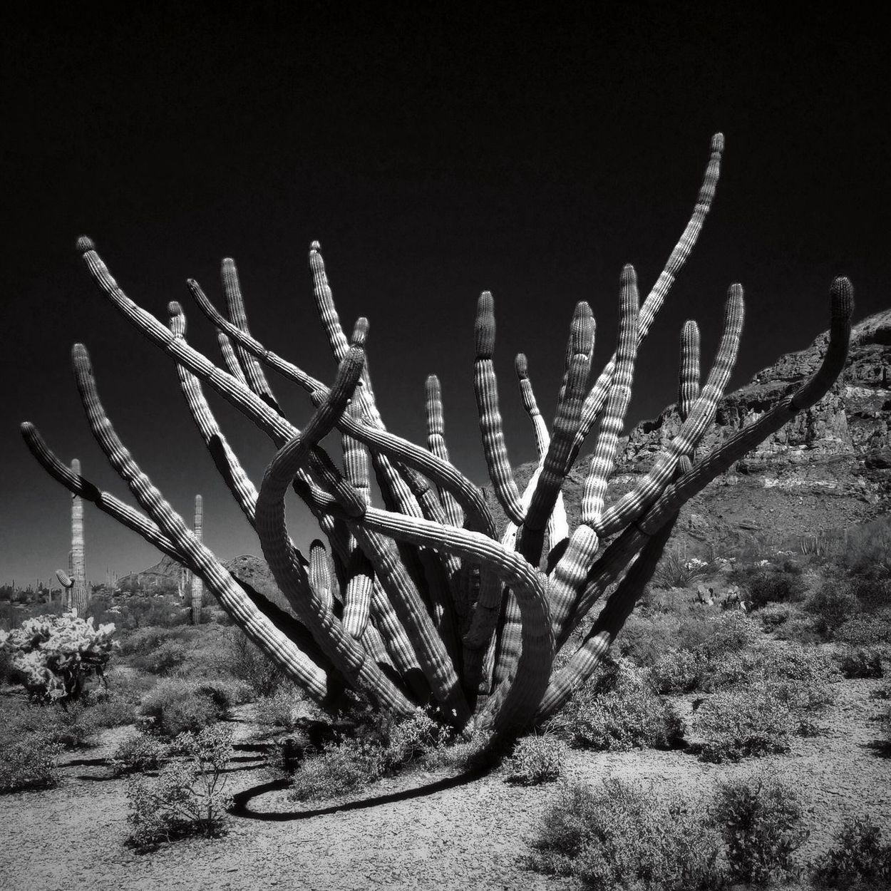 A symphonybof arms, Organ Pipe Cactus National Monument Organ Pipe Cactus Mobilephotography Sonoran Desert Arizona Outdoors Nature Growth No People Saguaro Cactus Cactus Plant Beauty In Nature