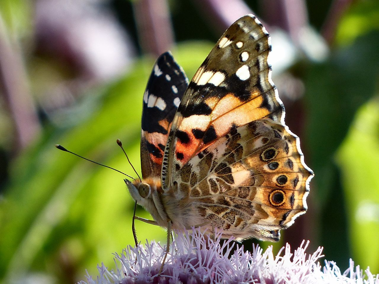 A Painted Lady Butterfly feeding on the South Downs north of Hove - August 2016. Painted Lady Butterfly Painted Lady Brighton East Sussex England, UK Hangleton Hove South Downs